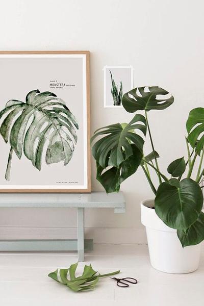 Planta Montsera